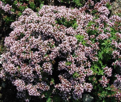 Produktbild Origanum vulgare 'Compactum' - Oregano, Polster-Dost