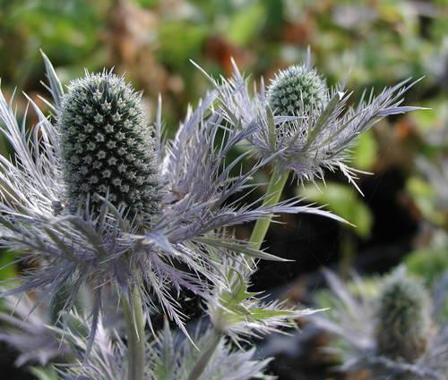 Produktbild Eryngium alpinum 'Blue Star' - Alpen-Mannstreu