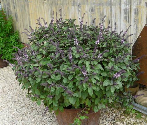 Produktbild Ocimum kilimandscharicum x basilicum purpurascens 'African Blue' - Rotgrünes Strauch-Basilikum