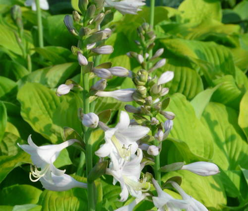 Produktbild Hosta Hybride 'August Moon' - Gold-Funkie