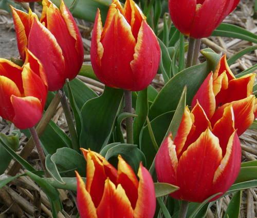 Produktbild Tulipa schrenkii - Wild-Tulpe