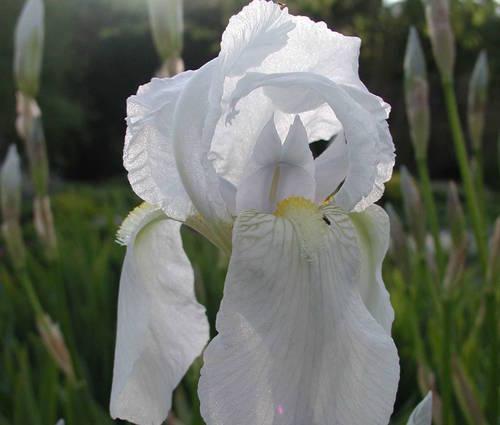 Produktbild Iris germanica 'Florentina' - Florentiner Schwertlilie