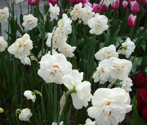 Produktbild Narcissus 'Acropolis' - Gefüllte Narzisse