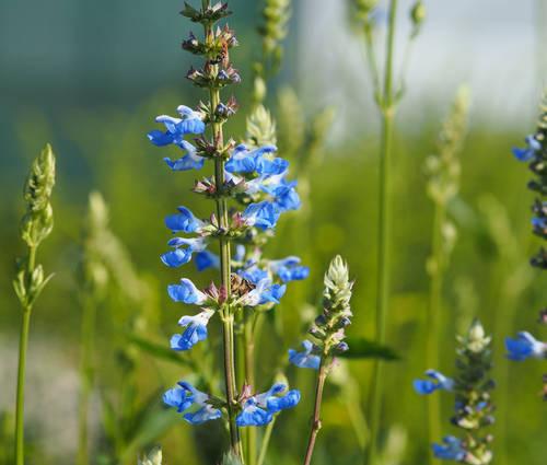 Produktbild Salvia uliginosa - Pfeffer-Salbei, Hummelschaukel