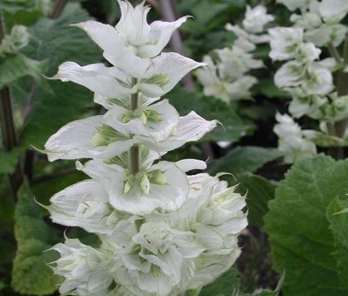 Produktbild Salvia sclarea var. turkestanica 'Vatican White' - Weißer Muskateller-Salbei