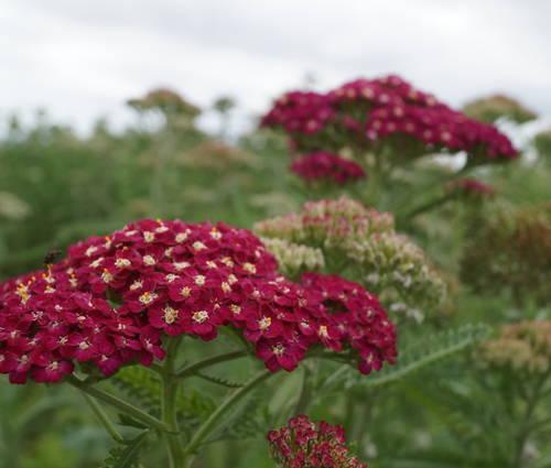 Produktbild Achillea Millefolium-Hybride 'Belle Epoque' - Schafgarbe