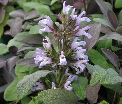 Produktbild Salvia officinalis 'Purpurascens' - Purpur-Gewürz-Salbei