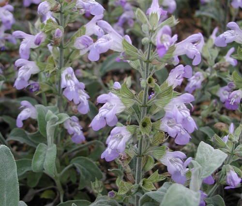 Produktbild Salvia officinalis 'Nazareth' - Marzipan-Gewürz-Salbei