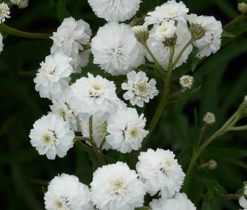 Produktbild Achillea ptarmica 'Schneeball' - Gefüllte Bertramsgarbe