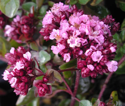 Produktbild Origanum Laevigatum-Hybride 'Rosenkuppel' - Blumen-Dost, Heidegünsel