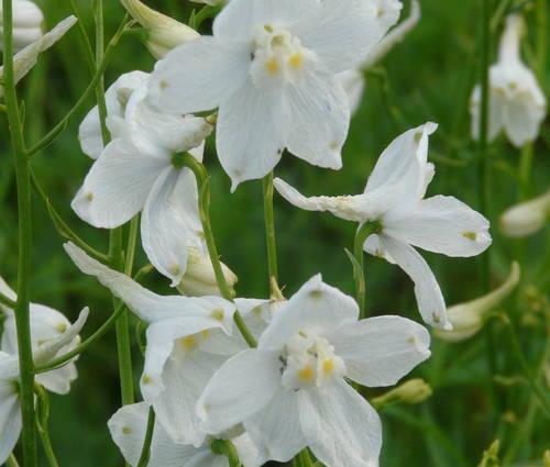Produktbild Delphinium Belladonna-Hybride 'Moerheimii' - Rittersporn