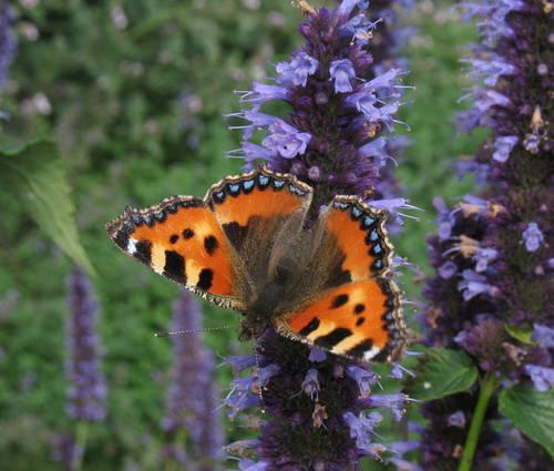 Produktbild Blüten-Tänzer - Stauden für Schmetterlinge