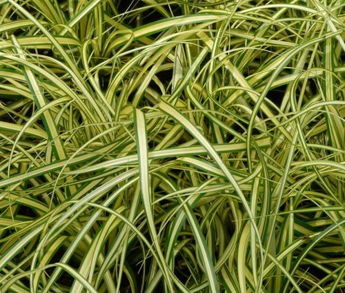 Produktbild Carex oshimensis 'Evergold' - Japan-Gold-Segge