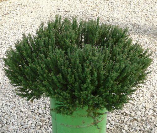 Produktbild Thymus vulgaris 'Compactus' - Kleiner Gewürz-Thymian