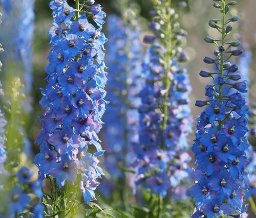 Produktbild Blüten-Ouvertüre in Blau - Rittersporn