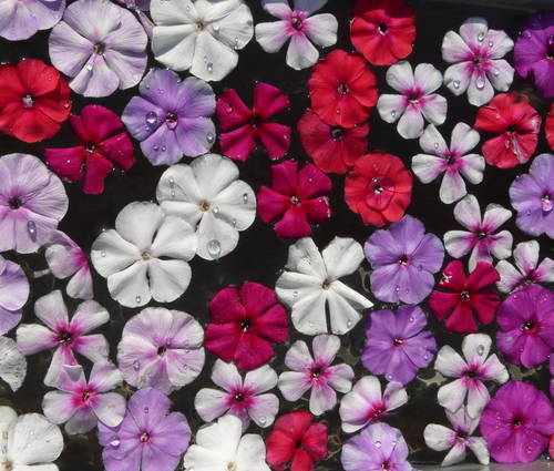 Produktbild Ein Stück Bauerngarten - Phlox