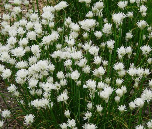 Produktbild Allium schoenoprasum 'Corsican White' - Weißer Schnittlauch