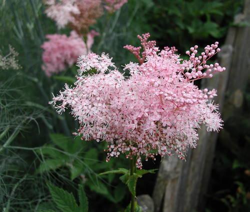 Produktbild Filipendula rubra 'Venusta' - Rosa Spierstaude