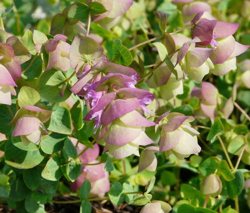 Produktbild Origanum rotundifolium 'Kent Beauty' - Hopfen-Dost