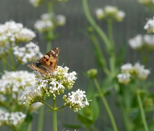 Produktbild Centranthus ruber 'Albus' - Spornblume