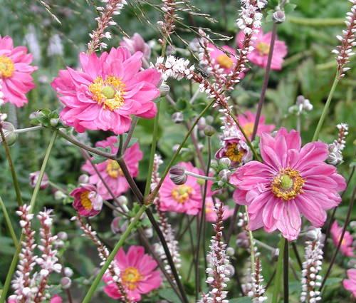Produktbild Anemone Japonica-Hybride 'Pamina' - Herbst-Anemone