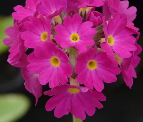Produktbild Primula denticulata 'Rubin Auslese' - Kugel-Primel