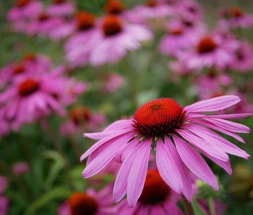Produktbild Echinacea purpurea - Purpur-Sonnenhut, Igelkopf