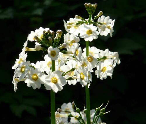 Produktbild Primula japonica 'Alba' - Etagen-Primel