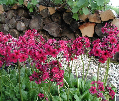 Produktbild Primula japonica 'Millers Crimson' - Etagen-Primel