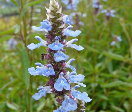 Produktbild Salvia azurea 'Grandiflora' - Prärie-Salbei, Herbst-Salbei