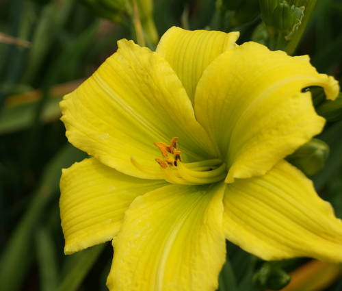 Produktbild Hemerocallis Hybride 'Green Flutter' - Taglilie (kleinblumig)