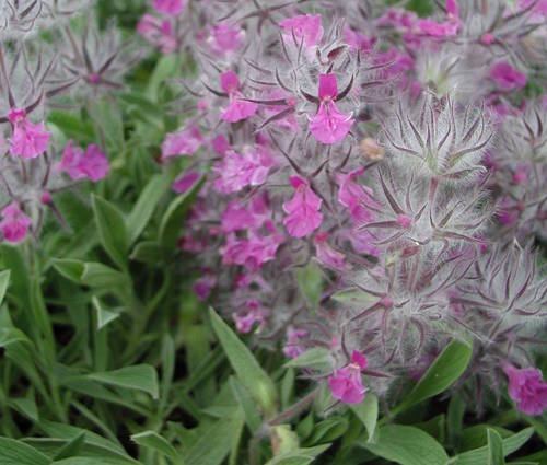 Produktbild Stachys lavandulifolia - Lavendel-Ziest