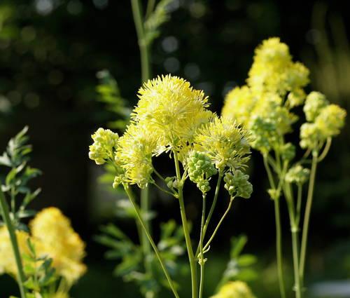 Produktbild Thalictrum flavum ssp. glaucum - Gelbe Wiesenraute