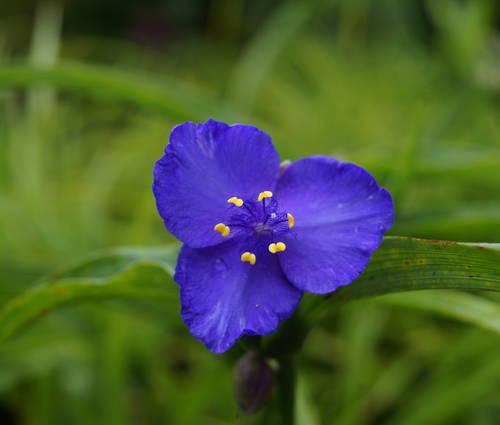 Produktbild Tradescantia x andersoniana 'Zwanenburg Blue' - Dreimasterblume