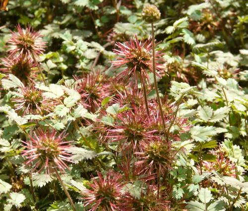 Produktbild Acaena microphylla 'Kupferteppich' - Braunrotes Stachelnüsschen