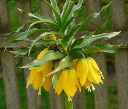 Produktbild Fritillaria imperialis 'Lutea Maxima' - Kaiserkrone