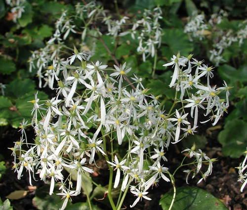 Produktbild Saxifraga cortusifolia var. fortunei 'Maigrün' - Herbst-Steinbrech