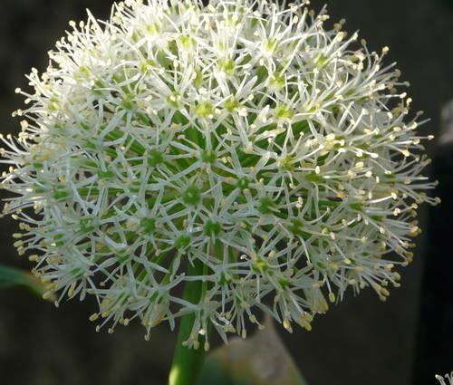 Produktbild Allium karataviense 'Ivory Queen' - Weißer Blauzungen-Lauch