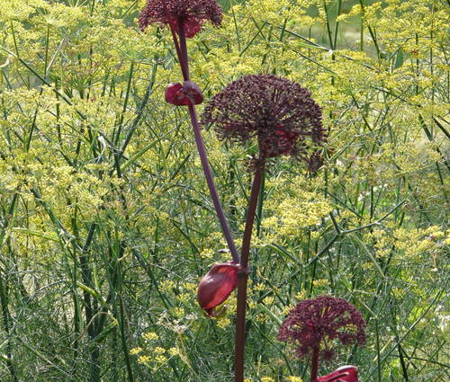 Produktbild Foeniculum vulgare - Gewürz-Fenchel