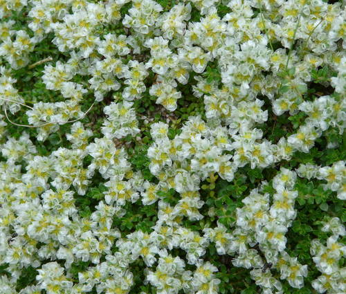 Produktbild Paronychia kapela ssp. serpyllifolia - Thymianblättrige Mauermiere