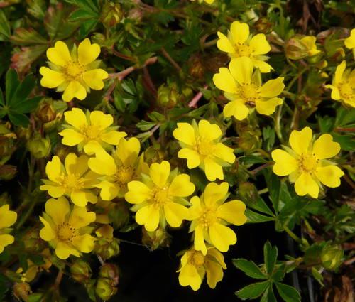 Produktbild Potentilla neumanniana - Frühlings-Fingerkraut