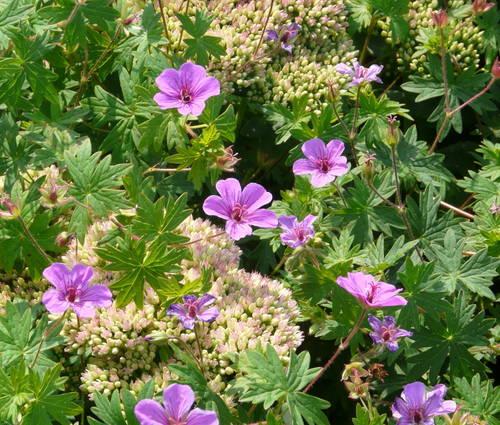 Produktbild Geranium Sanguineum-Hybride 'Dilys' - Herbst-Storchschnabel