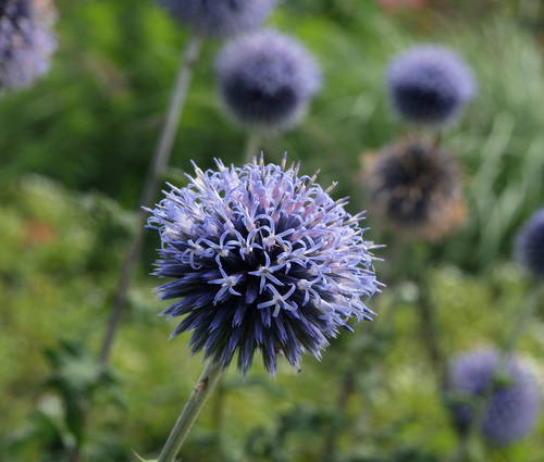 Produktbild Echinops ritro 'Veitch's Blue' - Kugeldistel