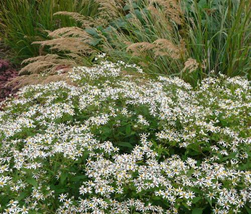 Produktbild Aster divaricatus - Weiße Sommer-Wald-Aster