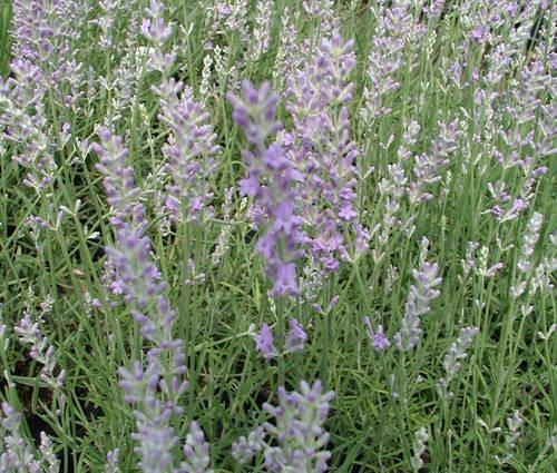 Produktbild Lavandula angustifolia - Echter Lavendel