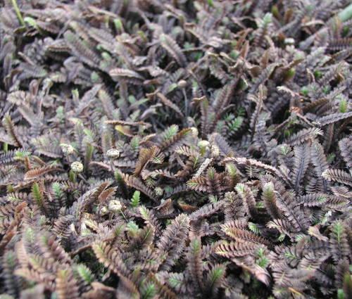 Produktbild Cotula squalida 'Platt's Black' - Farn-Fiederpolster