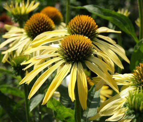 Produktbild Echinacea Hybride 'Sunrise' ® - Heller Sonnenhut
