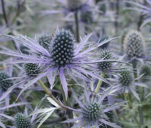 Produktbild Eryngium x zabelii 'Blauer Ritter' - Garten-Mannstreu