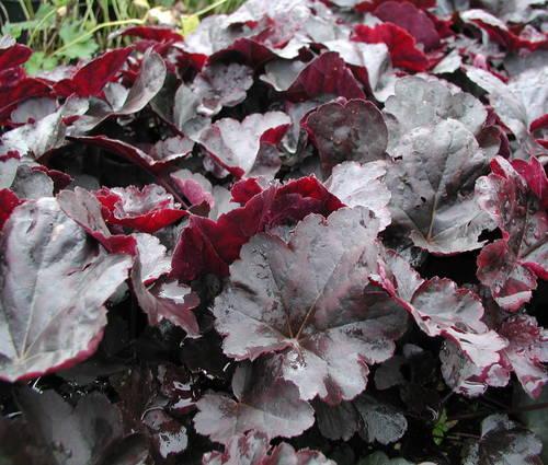 Produktbild Heuchera Hybride 'Obsidian' ® - Purpurglöckchen