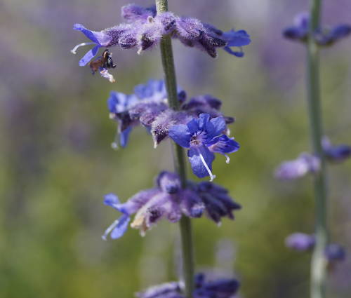 Produktbild Perovskia atriplicifolia 'Filigran' - Blauraute, Silberbusch